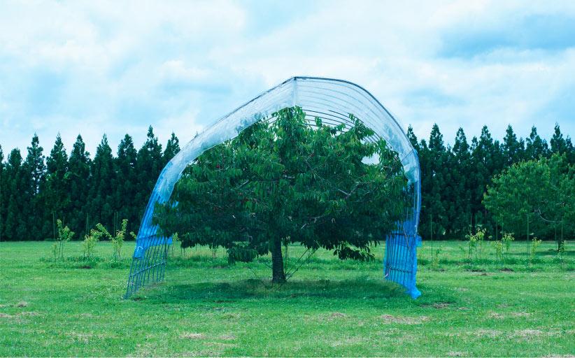 幸運のさくらんぼ、ジュノハートの木
