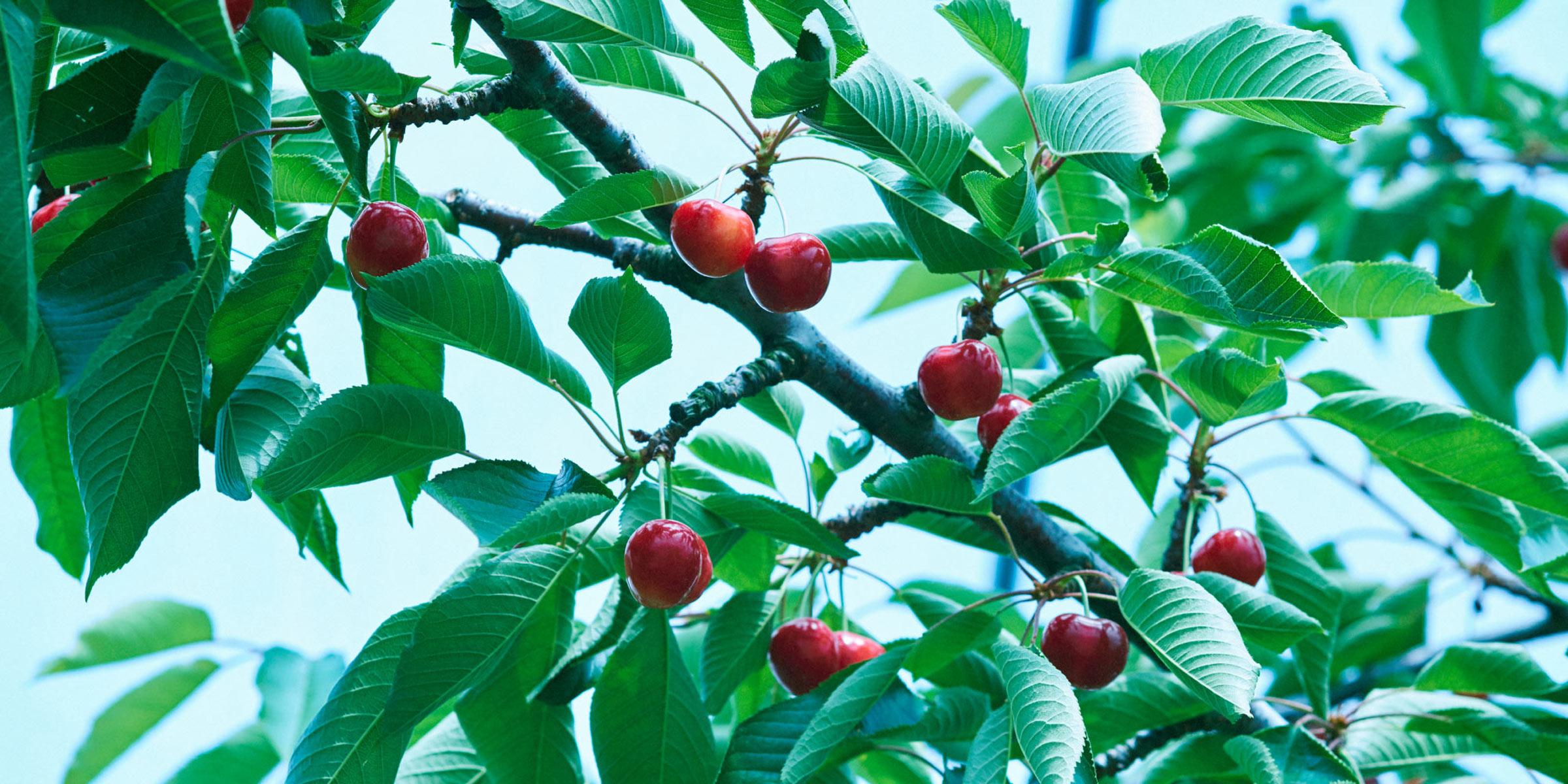 ジュノハートは、青森県独自のさくらんぼ新品種。