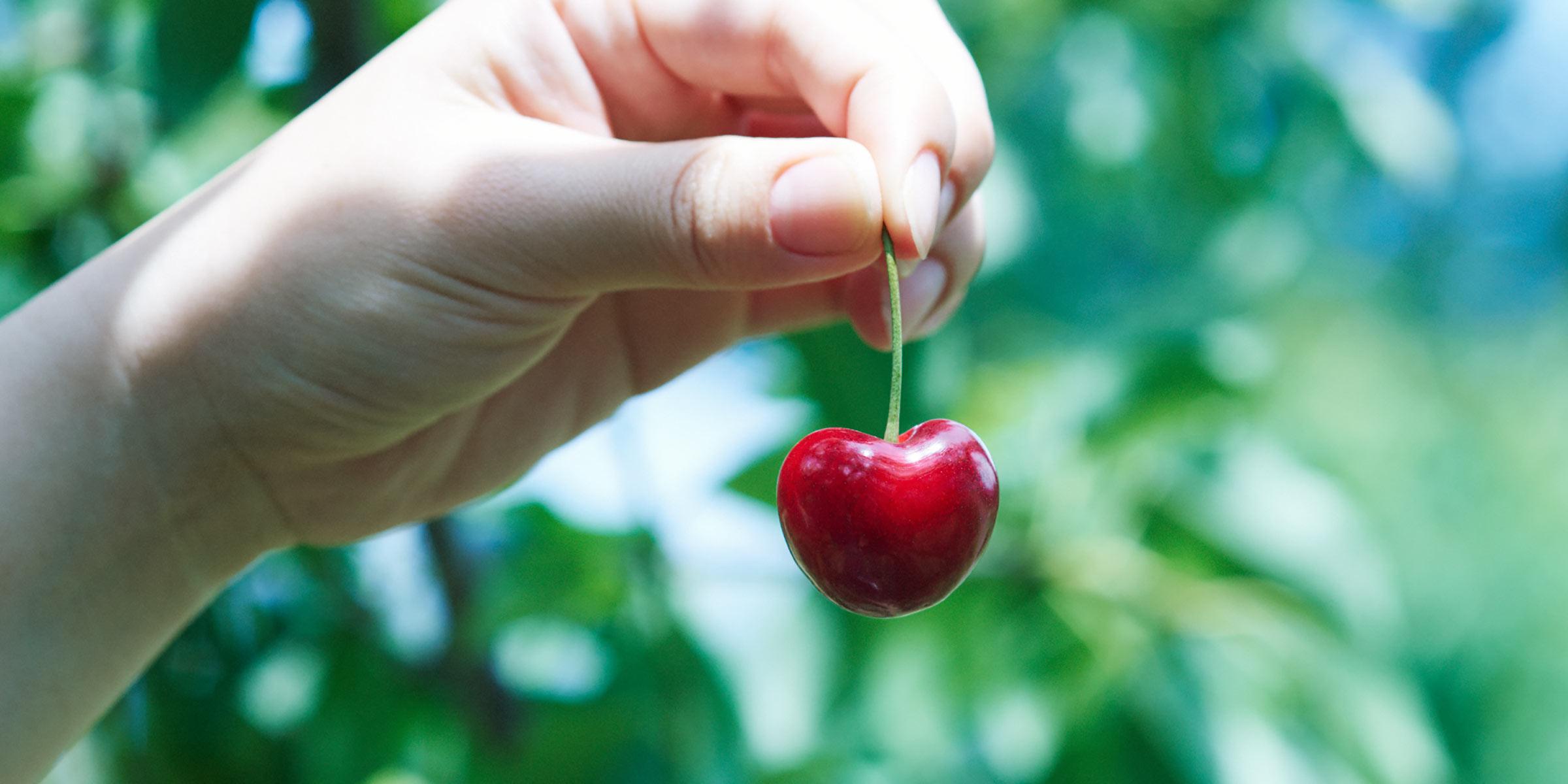 青森県産大玉さくらんぼ 驚くほど大きく甘い、ハート形の果実