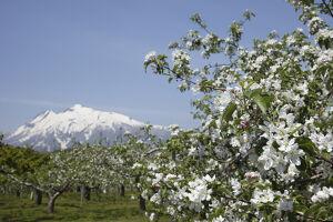 りんごの花と岩木山.jpg