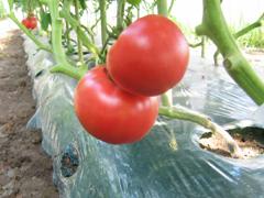 畑のトマト