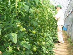 トマト栽培作業