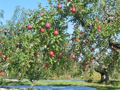 青森りんごの畑