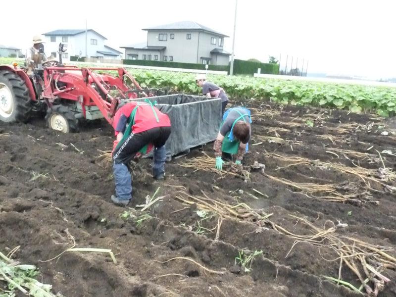 掘り取られたごぼうを手作業で収穫