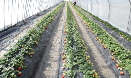 いちごの栽培