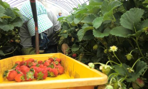 麗紅の栽培