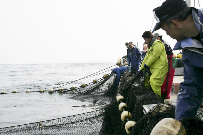 サクラマス漁