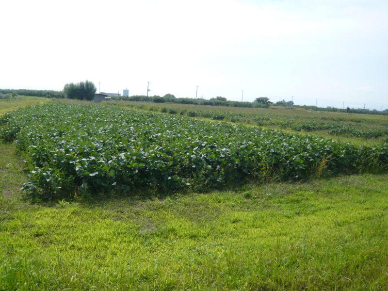青森県板柳町 いたや毛豆の畑