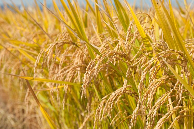 十和田市は県内有数の稲作地域