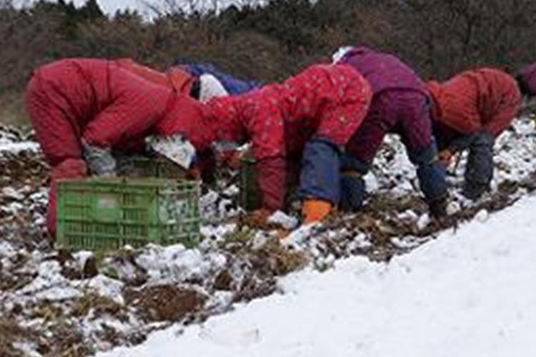ふかうらの雪人参は手掘りで収穫します