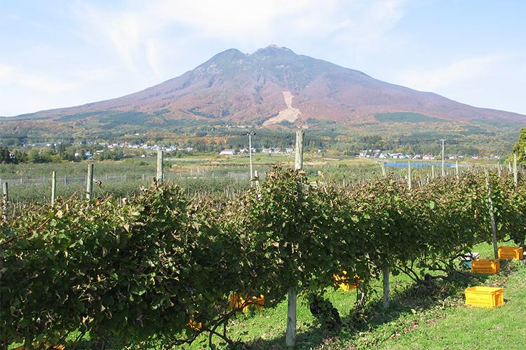 青森県の津軽地方のぶどう畑