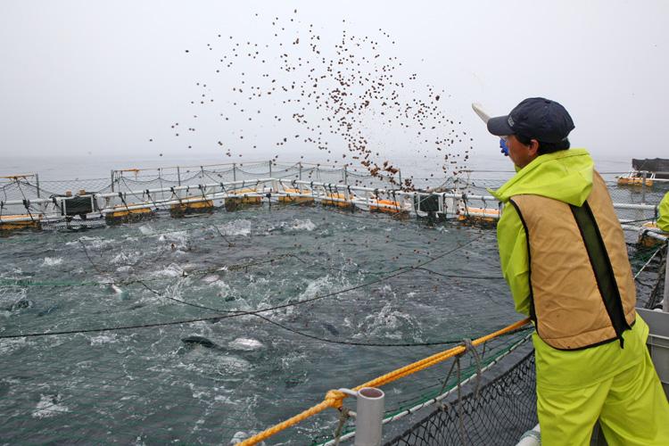 海峡サーモンの養殖