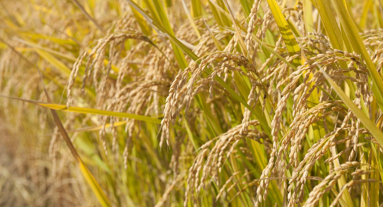 2015年10月 旬の食材 あおもり米