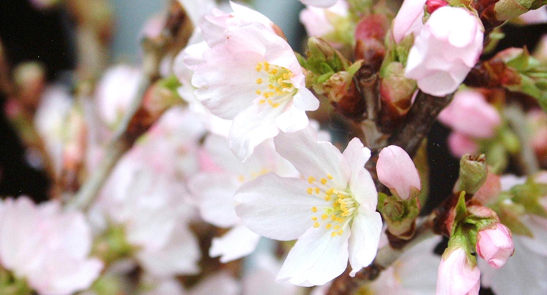 2016年1月 旬の食材 啓翁桜