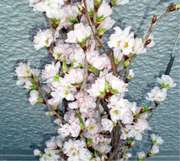青森県の「啓翁桜」