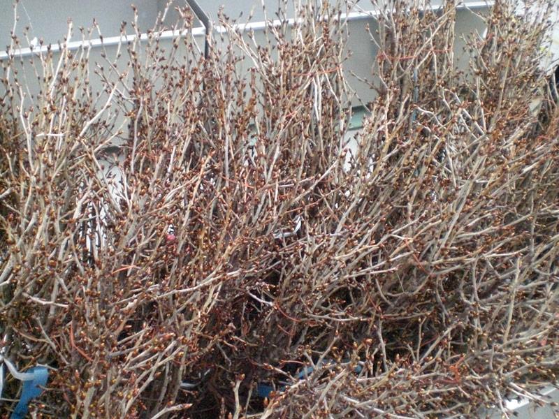 啓翁桜の栽培方法