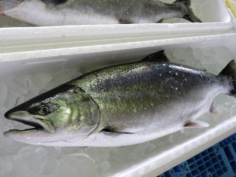 津軽海峡の「サクラマス」