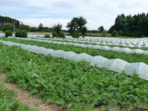 青森県 屏風山地域のスイカ畑