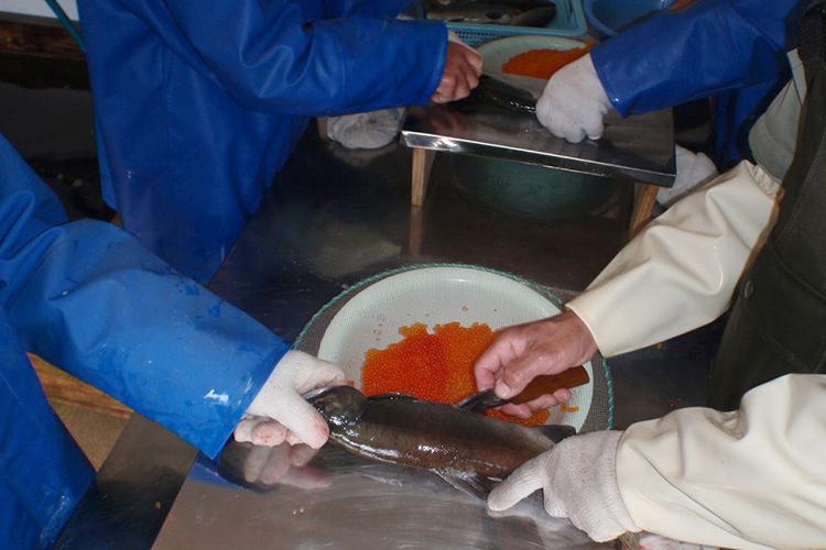 十和田湖のひめます 採卵作業