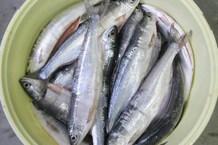 十和田湖のひめます 漁獲時期