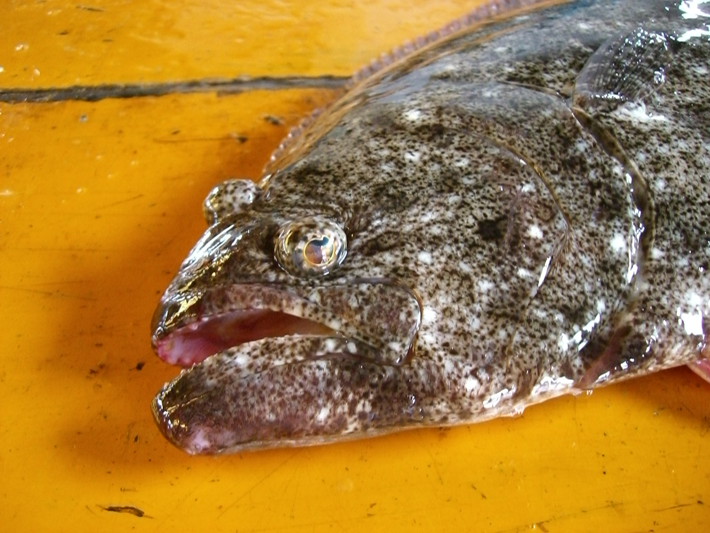 青森県の魚「ヒラメ」