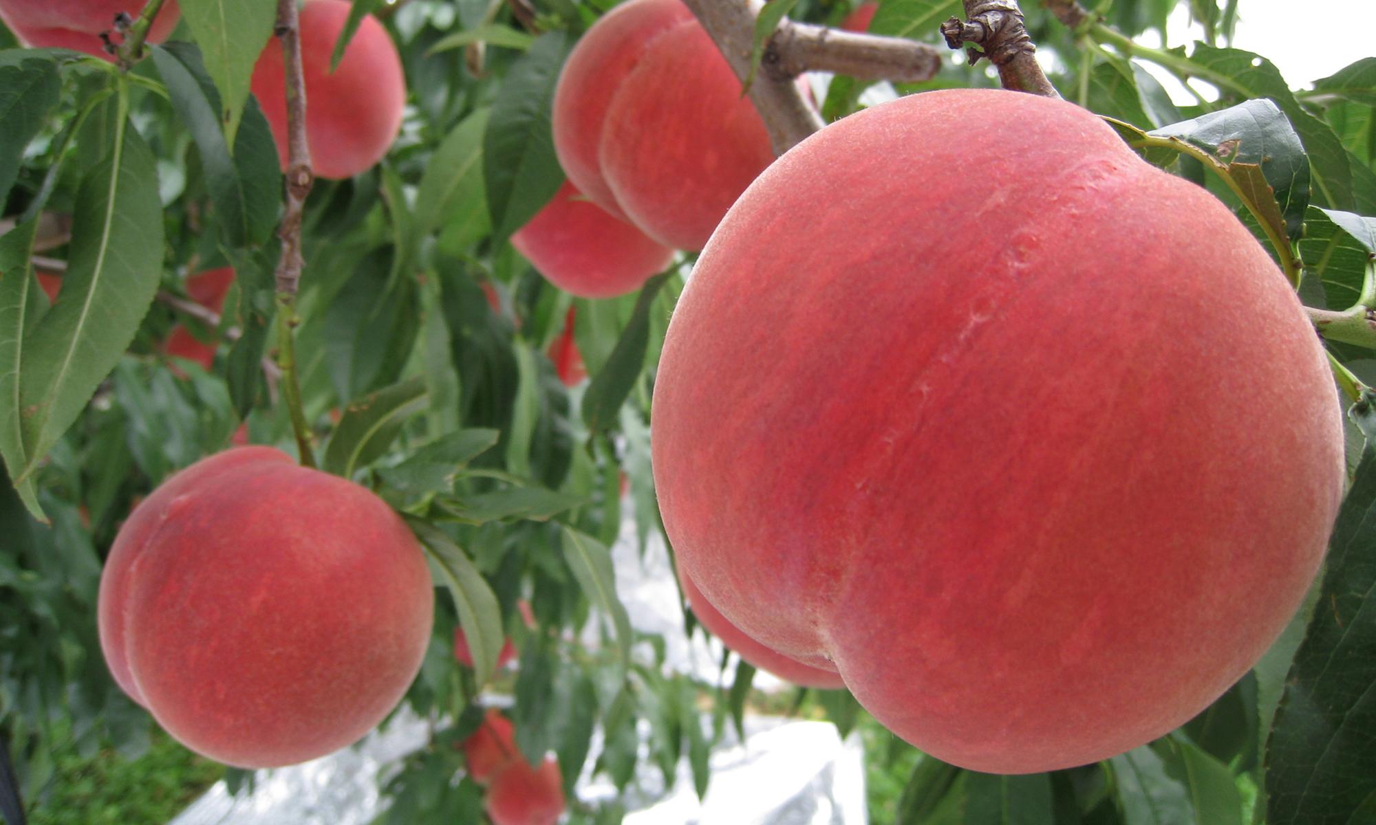 2013年9月 旬の食材 津軽の桃