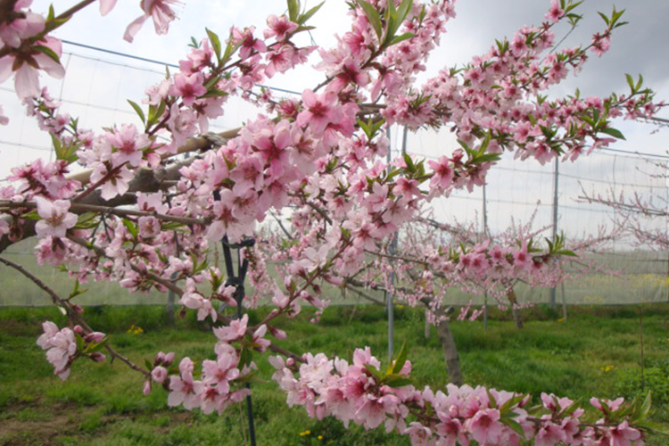 津軽の桃 開花期