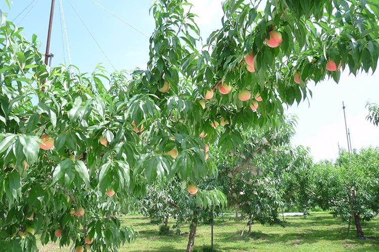 剪定 斜立主幹形の樹