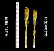 「華想い」と「華吹雪」の稲株