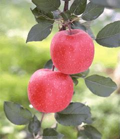 青森県を代表する農産物 りんご