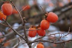 南部地方の特産品「妙丹柿」
