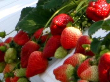 アグリの里 おいらせ 太陽の恵みを受けた甘いイチゴ