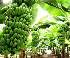アグリの里 おいらせ 熱帯果樹園の青森県産バナナ