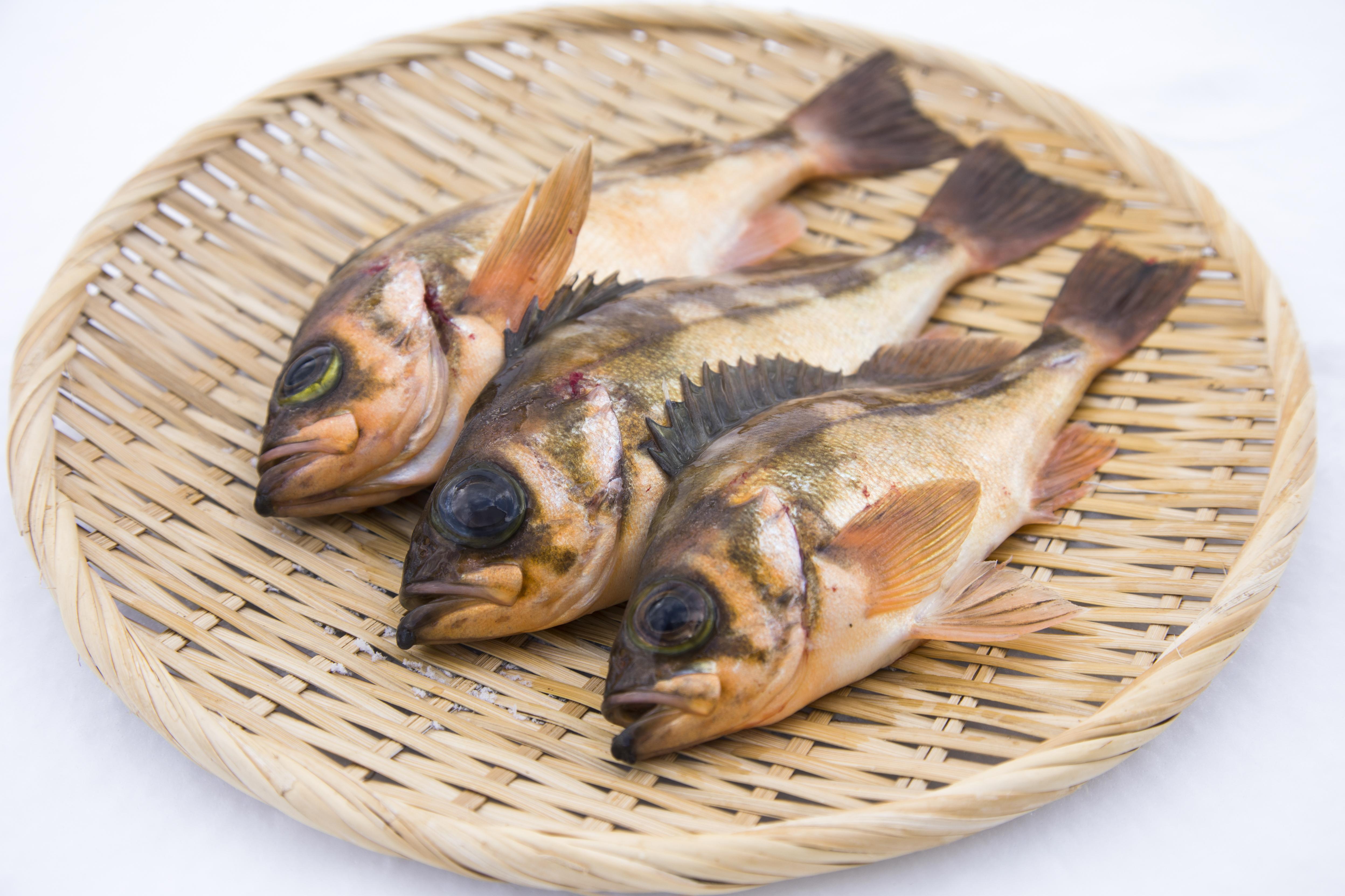 津軽海峡メバルと異なる金褐色の体色