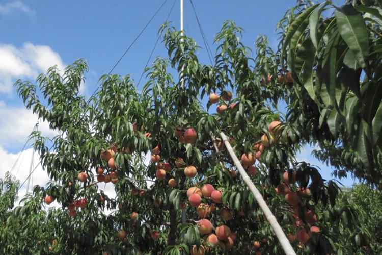 津軽の桃畑