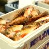 漁獲量日本一、春からが旬の「メバル」