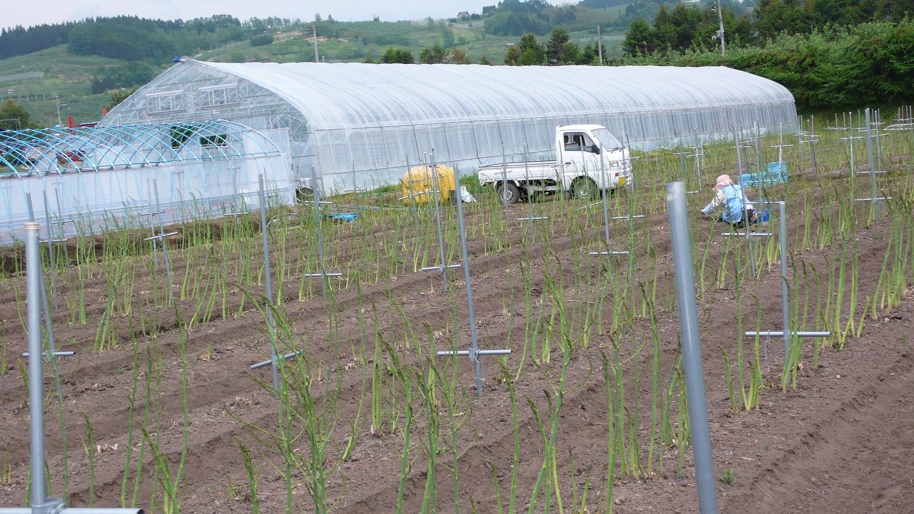 アスパラガスの栽培