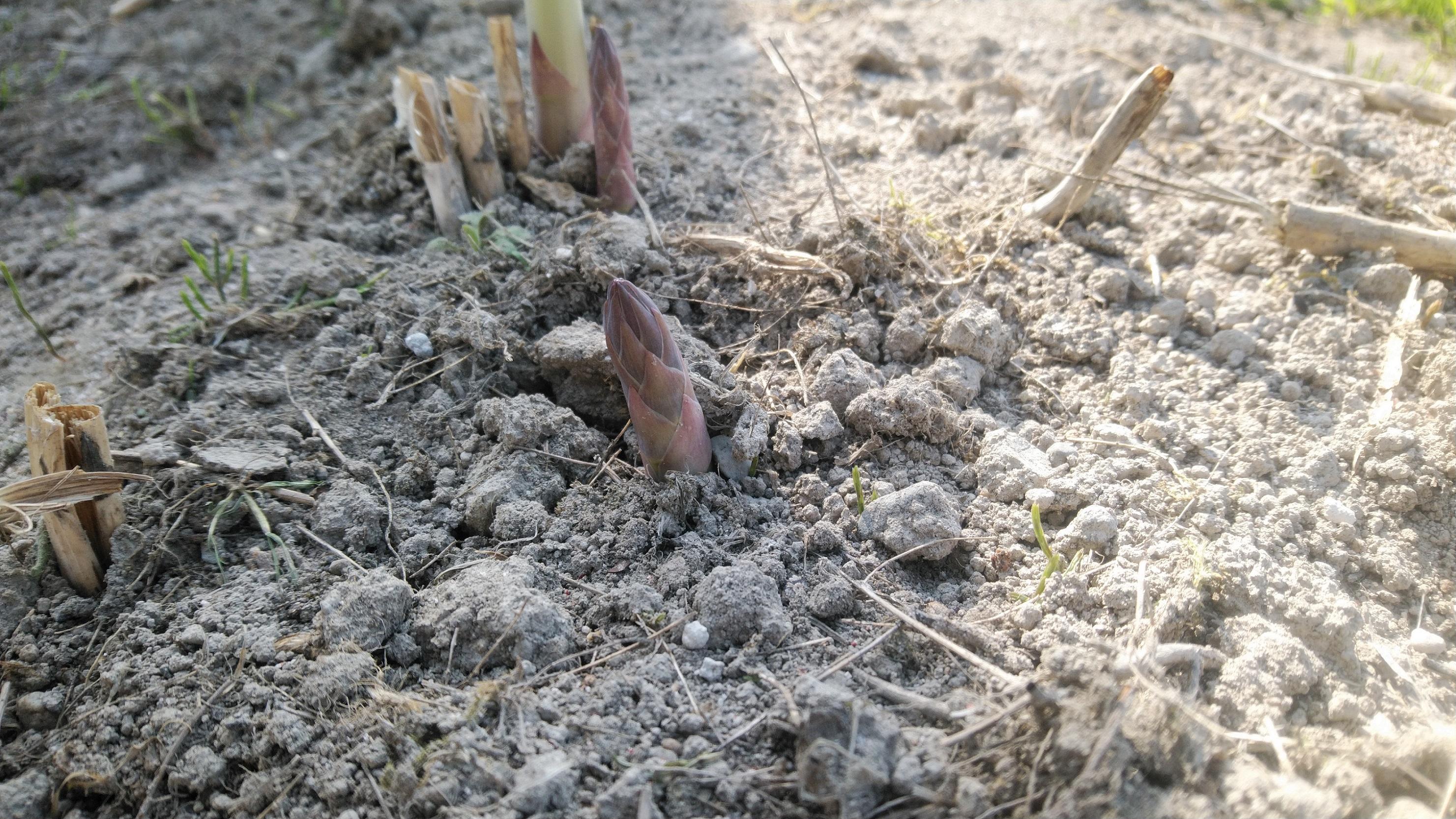 萌芽が出たアスパラガス