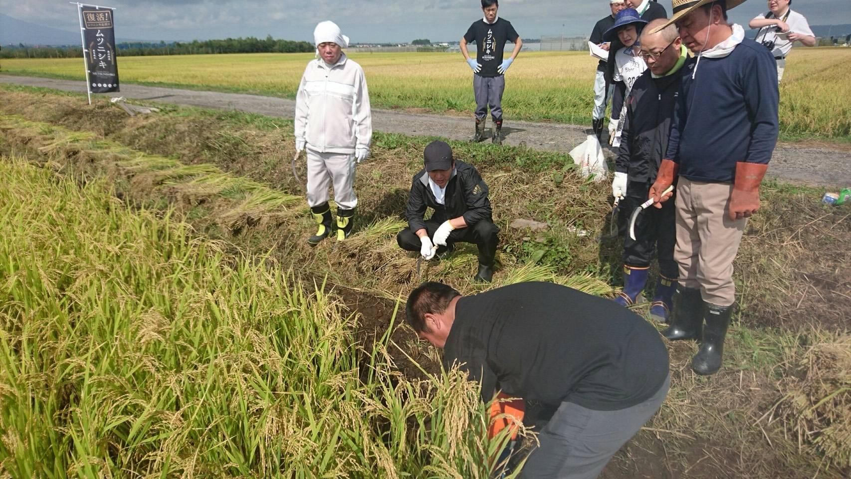 ムツニシキの収穫