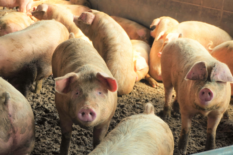 長谷川自然牧場の自然熟成豚
