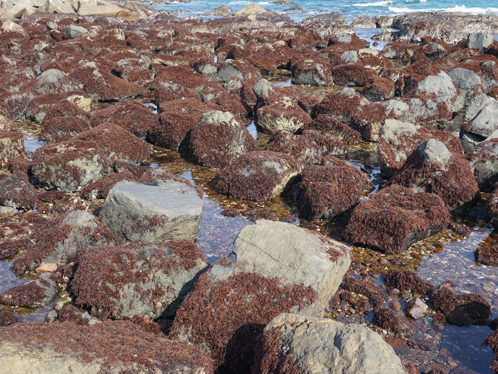 磯場に生息する布海苔