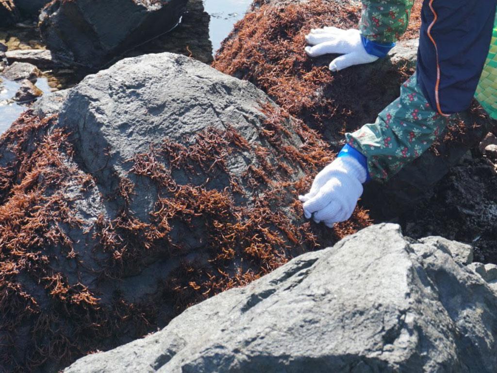 布海苔の収穫