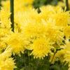 独特の芳香と甘味が味わえる食用菊「<ruby>阿房宮<rp>(</rp><rt>あぼうきゅう</rt><rp>)</rp></ruby>」