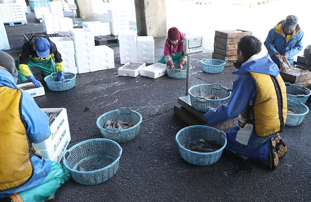 ヤリイカ 鯵ヶ沢漁港